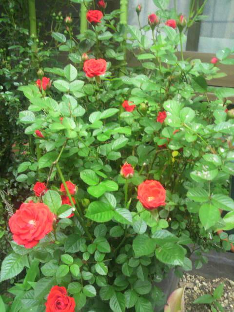 薔薇の小花